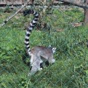 Lemur v zoo Dvorce
